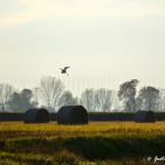 Un airone in volo nella Campagna pavese. Località: Settimo (Bornasco, PV)