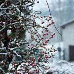 Bacche da neve. Montebello della battaglia (PV)